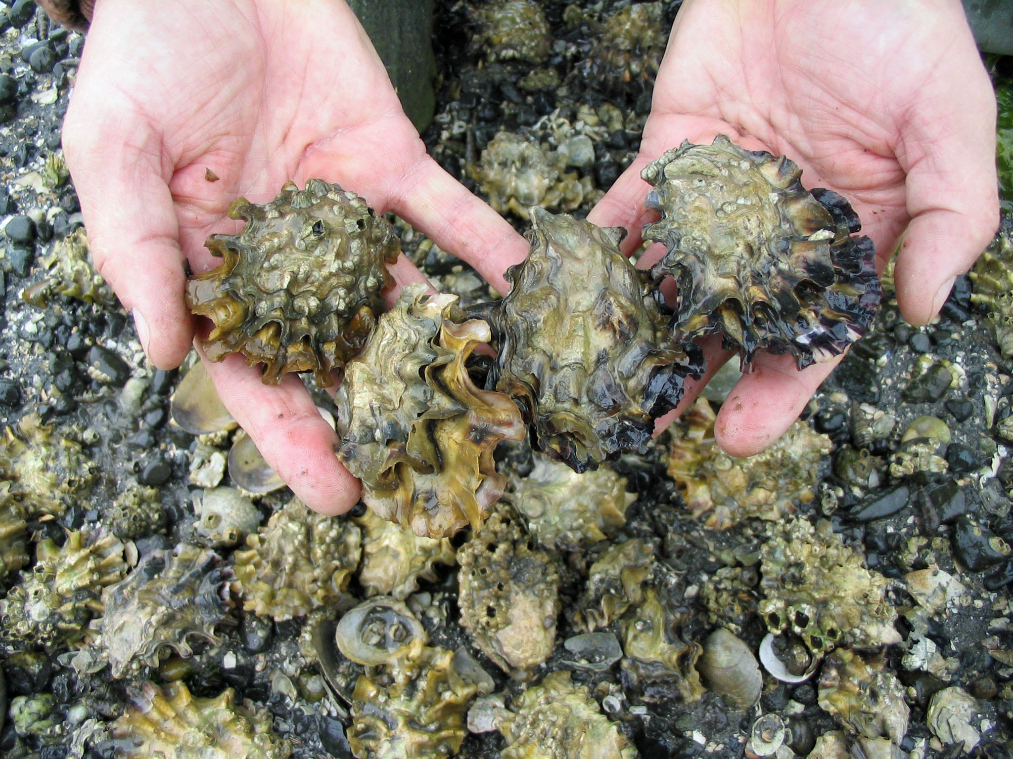 Text Box: Oyster Farm, Washington State, Photo courtesy of Taylor Shellfish Farms